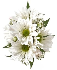 DAISY CORSAGE, WHITE - A corsage with five white daisy poms and babies breath. Designed as a wrist corsage, but can be converted to a pin on corsage with included pins. Item #4401.