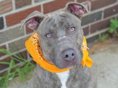 SAFE - 07/25/14   Brooklyn Center   JACK - A1006208   MALE, GR BRINDLE, PIT BULL MIX, 1 yr  STRAY - STRAY WAIT, NO HOLD Reason STRAY  Intake condition NONE Intake Date 07/10/2014, From NY 11691, DueOut Date 07/13/2014  https://www.facebook.com/photo.php?fbid=838087982870749&set=pb.152876678058553.-2207520000.1405474401.&type=3&theater