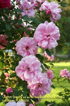 - BUY - JOHN DAVIS (Canadian Rose) (1986) (H6) Remonterer Klatre/buskrose ca 2-2,5m høy Store, fylte rosa blomster med litt duft. Lange greiner. Frisk. Bruksområde: Klatrerose mot vegg eller espalier. Også bra som buskrose/solitær. Vurdering: En av de mest hardføre og beste nyere klatreroser. Blomstene holder lenge. Anbefales.
