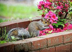 A juvenile gray squirrel has a taste for red azaleas in Pasadena, Maryland.