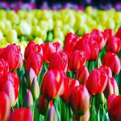 The sights and smells of #Keukenhof are just a short ride from Amsterdam. Will you be paying a visit this April? Search 'CityXplora Keukenhof'  to book a handy half day tour. #KeukenhofGardens #FlowerFields #Holland #IgHolland #VisitHolland #Amsterdam #Tulips #TulipSeason #Leiden #Haarlem #iamsterdam #Springishere #Flowergram #Flowerstagram