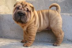 best pictures and photos ideas about adorable chinese shar pei puppies - oldest dog breeds Cute Puppy Breeds, Cute Puppies, Dogs And Puppies, Puppies Tips, Doggies, Golden Retriever, Retriever Puppy, Cachorros Shar Pei, Cute Baby Animals