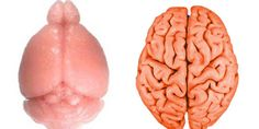 REVEALED: How The Brain Gets Its Wrinkles