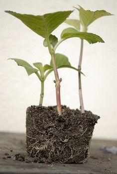 C'est en été (au mois d'août) que se bouturent les hortensias, à partir de pousses de l'année issus de rameaux latéraux non fleuris...Facile à réussir à l'étouffée dans un substrat léger (type terreau à semis ou terreau additionné de sable de rivière tamisé)... Mode d'emploi (très simple ! ) http://www.jardipartage.fr/bouturer-un-hortensia/                                                                                                                                                      Plus