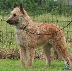 Belgian Shepherd Laekenois breed Photo