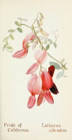 Field book of western wild flowers (1918)  |  Pride of California