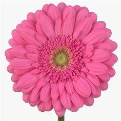 Gerbera Samara is a pretty Pink cut flower. Beautiful flower perfect for all arrangements. Pretty In Pink, Beautiful Flowers, Pink Gerbera, Florist Supplies, Thing 1, Star Jewelry, Wedding Flower Arrangements, Bridal Rings, Flower Power
