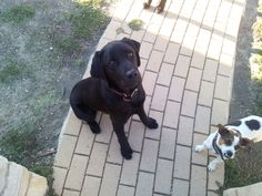 Black Lab and Jack Russell...who's the boss?