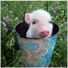 Tea-cup pot belly pig...