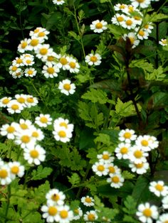 Feverfew - a perennial that you can plant in your yard or pot and use to treat migraines.