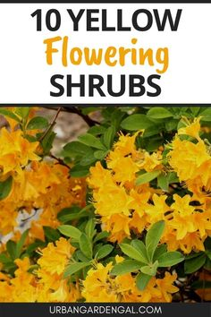 Perennial shrubs with yellow flowers are great for brightening up your garden. Here are 10 beautiful yellow flowering shrubs to plant in your flower garden. #flowers #shrubs #flowergarden Yellow Flowering Shrub, Flowering Shrubs, Garden Beds, Yellow Flowers, Outdoor Spaces, Perennials, Planting Flowers, Plants, Outdoor Living Spaces