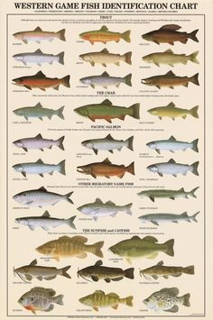 Western Game Fish Identification Poster   Fish Identification Charts
