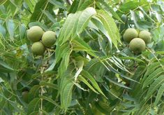 Black Walnut – Benefits and Side Effects
