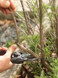 When and what to prune tips.
