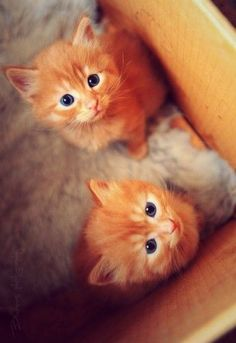 2 orange kittens with blue eyes! This is what our new kitty Kenobi looks like!!
