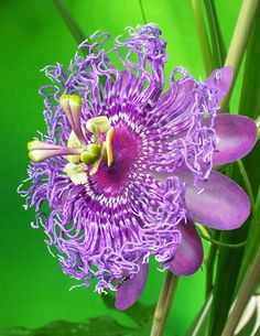 Passion flower- the sedative effect makes it popular for treating anxiety, panic attacks, and insomnia.