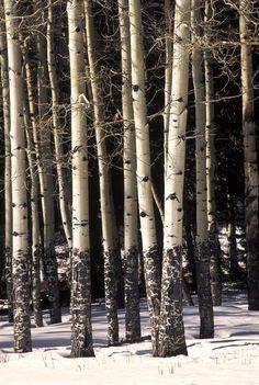 Aspen Trunks, Rocky Mountain National Park, Colorado