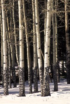 Aspen Trunks, Rocky Mountain National Park, Colorado