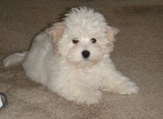 Coton De Tulear Information - Dog Breeds at thepetowners