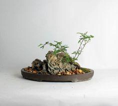 """Acacia Farnesiana bonsai tree """"Spring 2016 exotics collection"""" from LiveBonsaiTree"""