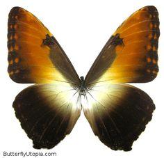 Sunset Morpho (Morpho hecuba hecuba)  Wingspan: 5 - 5 1/4 inches