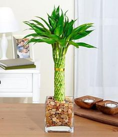 Find more ideas for Father's Day at DLG Creative Mgmt's blog - Elegant Twist Bamboo Plant
