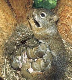 Photo by Sumio Harada/Minden Pictures.A red squirrel nurses her babies in the comfort of a snag hole. Cavity-raised squirrels are nearly twice as likely to survive as those raised in treetop nests. Cute Creatures, Beautiful Creatures, Animals Beautiful, Beautiful Babies, Beautiful Kittens, Beautiful Family, Cute Squirrel, Baby Squirrel, Squirrels