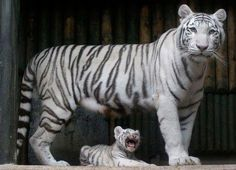 A rare white Indian tiger cub sits at the feet of its mother on Monday at a zoo in Liberec, Czech Republic. It's one of a set of triplets born in July. - Image credit: Associated Press