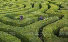 Gardeners wear stilts to cut the Longleat maze hedge, Wiltshire, Britain - 20 Sep 2015  Gardeners wearing stilts trim the hedge 20 Sep 2015