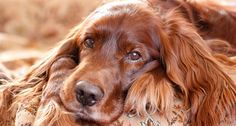 Owners claim prize-winning Irish Setter was poisoned at PETA ...