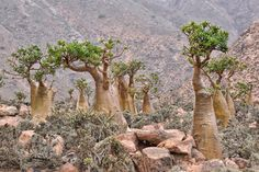 Here is a list of the 20 Tourist Attractions yemen The Ancient Tombs, Sanaa Bottle Trees, Socotra Island Al-Saleh Mosque, Sanaa The Old City of Socotra, Dr Seuss Trees, Mysterious Places On Earth, Dragon Blood Tree, Bottle Trees, Cactus, Rare Plants, Trees And Shrubs, Cacti And Succulents