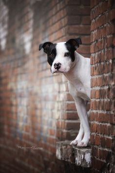 Staffordshire bullterrier in the city