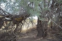 """The Hanging Tree"" at the Vulture Mine, Wickenburg, AZ,  was used to hang 18 men who were accused of stealing gold. Remains of Wickenburg's adobe cabin are unseen just at the right of the photo."