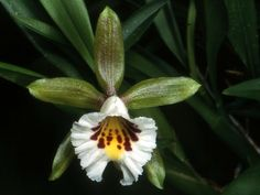Cischweinfia parva - Found in Colombia, Ecuador, Peru and Bolivia in montane cloud forests at elevations of 700 to 1150 meters as a small-sized, hot to cool-growing epiphyte.
