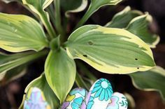 Hostas are plants with attractive foliage that adds interest to shady areas where most plants won't grow well. However, they are prone to insect pests. A homemade insecticidal spray helps control insects on ornamental plants such as hostas, or on vegetable or herb plants.