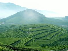 Long Jing Tea Plantation in Hangzhou, China. Stunning scenery. http://www.aventure.co.uk/China-Venture.html