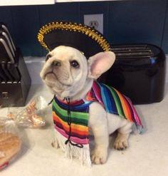 Carlos the French Bulldog - Halloween ready