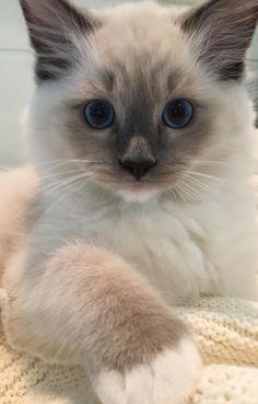 Tessa y Mitzi - gatita Ragdoll del mes - Katzen Bilder - Gatos Cute Kittens, Kittens Meowing, Fluffy Kittens, Fluffy Cat, Pretty Cats, Beautiful Cats, Cute Baby Animals, Animals And Pets, Jungle Animals