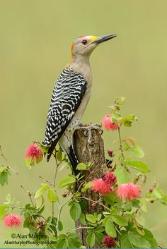 The Golden-fronted Woodpecker - Melanerpes aurifrons, is a North American woodpecker.