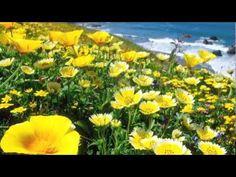 High resolution nature desktop wallpaper of Yellow Poppies, California Coast (ID: California Regions, California History, 3rd Grade Social Studies, Teaching Social Studies, 4th Grade Art, Fourth Grade, Third Grade, Picasa Web Albums, California Dreamin'