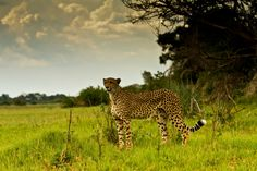 Cheetah surveying the landscape