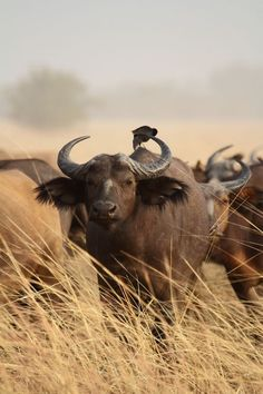 """The Cape buffalo, found in Africa, is sometimes called """"black death,"""" being one of the most dangerous animals on land. It is extremely aggressive and unpredictable and kills over 200 people a year."""