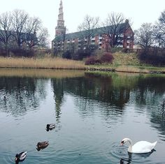 They follow us!!but so cute!  #Denmark #Copenhagen #Europe #travel #travelblogger #blogger #beautiful #love #adventure #travellikedance #gopro #sponsorship #デンマーク #ヨーロッパ #lake #nature #swan #castle #beautifulplace #bird #amor #follow #winter #sns