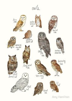 A chart featuring the barn owl, barred owl, short-eared owl, long-eared owl. Owls Art Print by Amy Hamilton on Animal Drawings, Art Drawings, Drawing Owls, Drawing Animals, Vogel Illustration, Elf Owl, Long Eared Owl, Great Grey Owl, Gray Owl