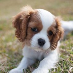 Things I enjoy about the Playfull Cavalier King Charles Spaniel Dogs Cavalier King Charles Spaniel, King Charles Puppy, King Spaniel, Cute Dogs And Puppies, I Love Dogs, Cute Small Dogs, Small Puppies, Little Dogs, Beautiful Dogs
