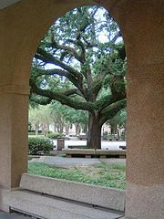 oaks and arches--Forever LSU