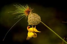 GOLDEN WEAVER Photo by ken dyball — National Geographic Your Shot