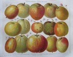 APFEL SYSTEM DIEL-LUCAS 1893 Original Farbdruck Antik Lithografie Antique Print