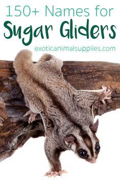 Sugar Glider Names - name ideas for pet sugar gliders. Creative, fun, cute, and unique names for your sugar glider. Sugar Glider Care, Sugar Glider Food, Sugar Glider Pouch, Sugar Gliders, Dog Names, Online Pet Supplies, Dog Supplies, Pet Names Unique, Animals