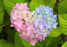 Hortensia Hydrangea, Hydrangea Garden, Hydrangeas, Heart In Nature, Heart Art, Flower Phone Wallpaper, I Love Heart, Geraniums, Amazing Nature